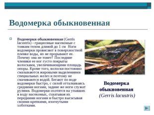 Водомерка обыкновенная Водомерки обыкновенная (Gerris lacustris) - грациозные
