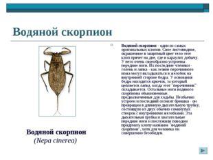 Водяной скорпион Водяной скорпион - один из самых оригинальных клопов. Свое л