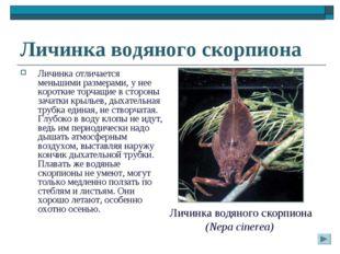 Личинка водяного скорпиона Личинка отличается меньшими размерами, у нее корот