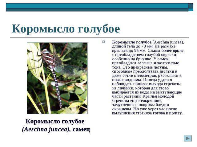 Коромысло голубое Коромысло голубое (Aeschna juncea), длиной тела до 70 мм, а...
