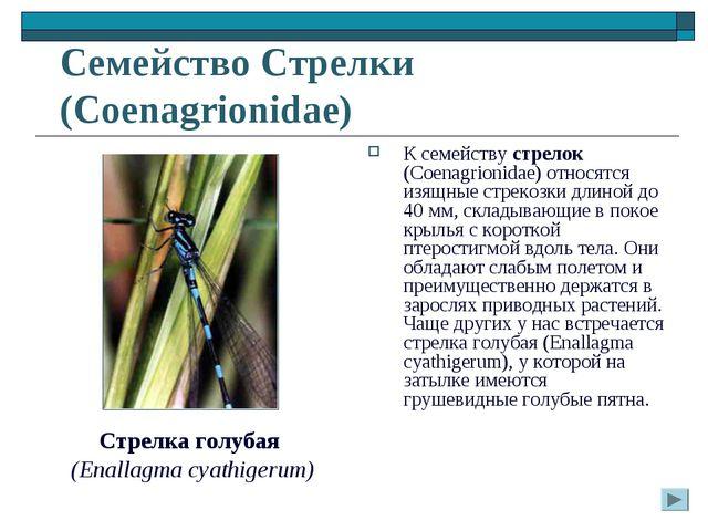 Семейство Стрелки (Coenagrionidae) К семейству стрелок (Coenagrionidae) относ...