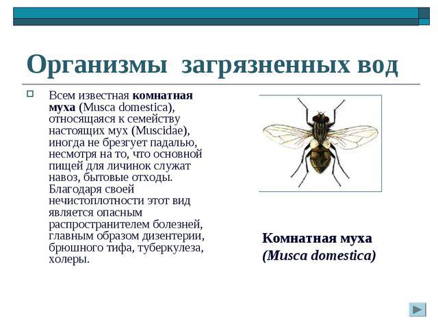 Организмы загрязненных вод Всем известная комнатная муха (Musca domestica), о...