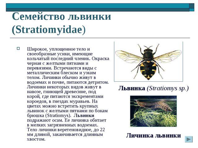 Семейство львинки (Stratiomyidae) Широкое, уплощенное тело и своеобразные уси...