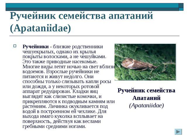 Ручейник семейства апатаний (Apataniidae) Ручейники - близкие родственники че...