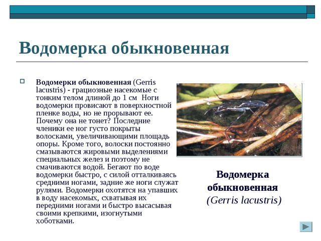 Водомерка обыкновенная Водомерки обыкновенная (Gerris lacustris) - грациозные...