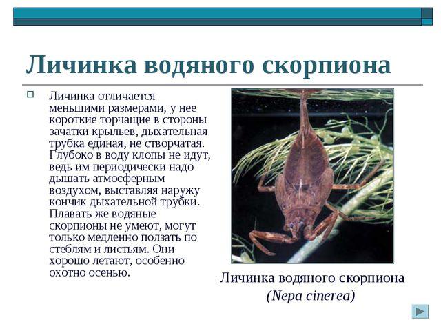 Личинка водяного скорпиона Личинка отличается меньшими размерами, у нее корот...