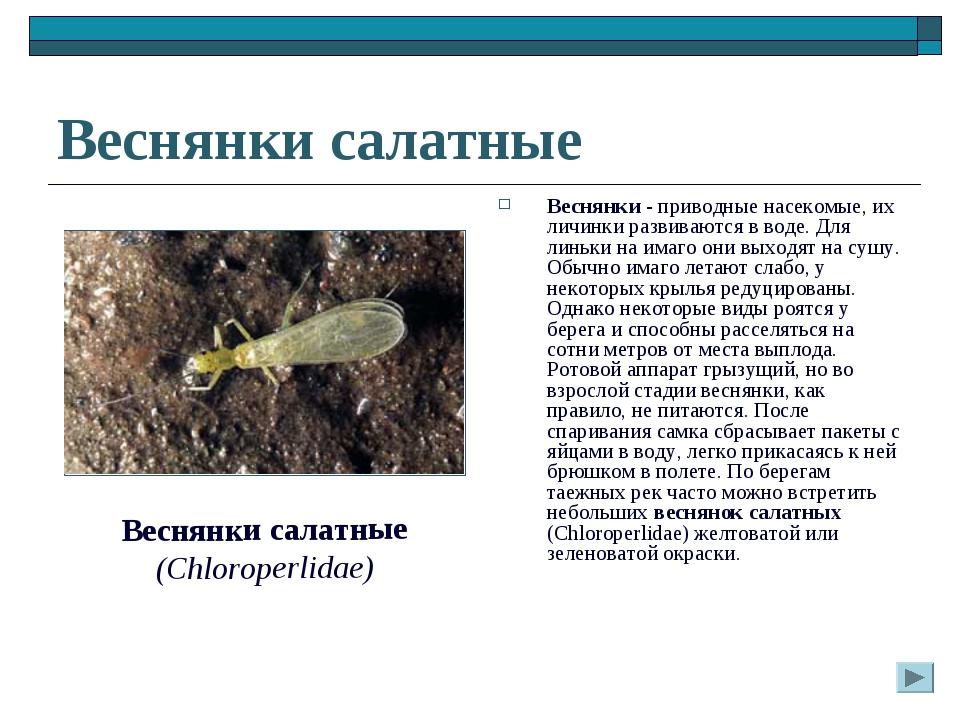 Веснянки салатные Веснянки - приводные насекомые, их личинки развиваются в во...