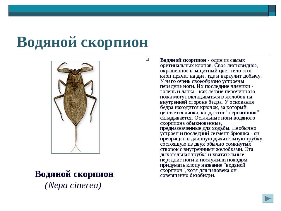 Водяной скорпион Водяной скорпион - один из самых оригинальных клопов. Свое л...