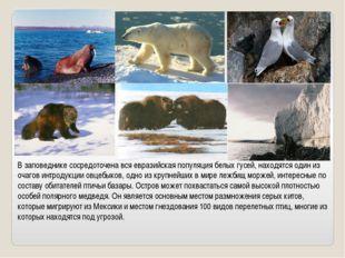 В заповеднике сосредоточена вся евразийская популяция белых гусей, находятся