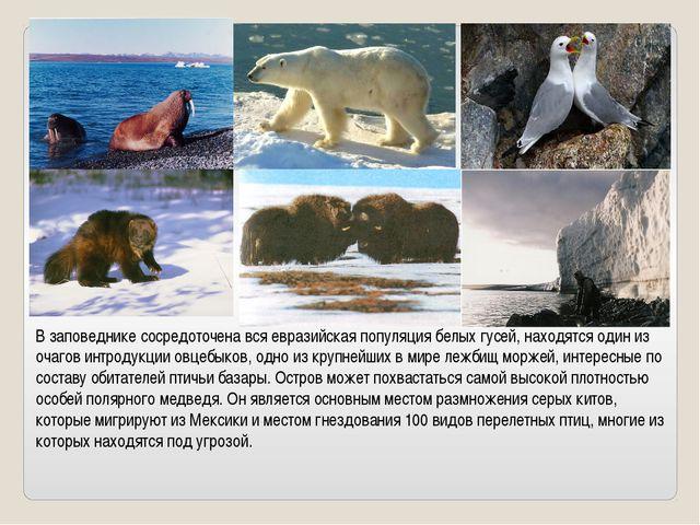 В заповеднике сосредоточена вся евразийская популяция белых гусей, находятся...