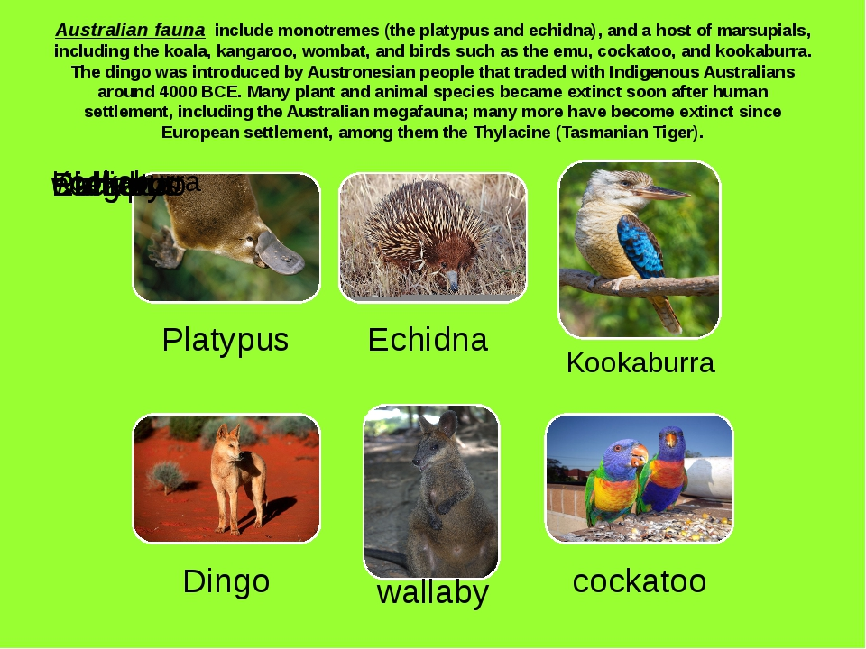 Australian fauna include monotremes (the platypus and echidna), and a host of...