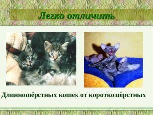 Легко отличить Длинношёрстных кошек от короткошёрстных