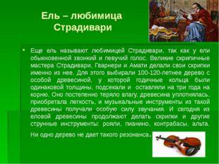 Ель – любимица Страдивари Еще ель называют любимицей Страдивари, так как у ел