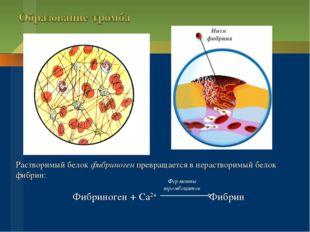 Растворимый белок фибриноген превращается в нерастворимый белок фибрин: Фибри