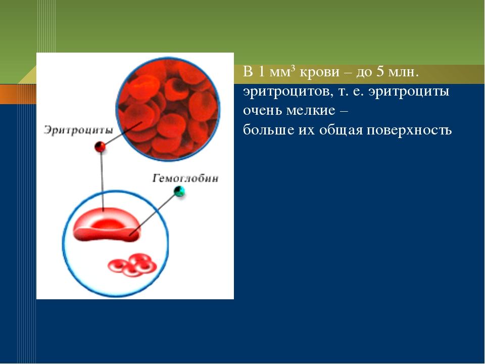 В 1 мм3 крови – до 5 млн. эритроцитов, т. е. эритроциты очень мелкие – больше...