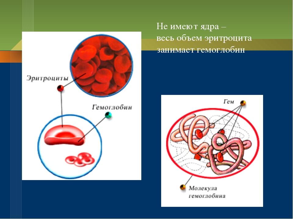 Не имеют ядра – весь объем эритроцита занимает гемоглобин