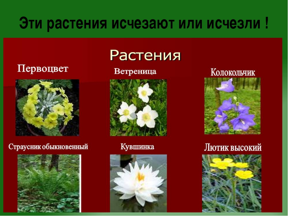 растения на грани исчезновения в россии с картинками свистком