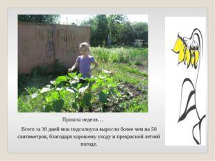 Прошла неделя… Всего за 30 дней мои подсолнухи выросли более чем на 50 сантим