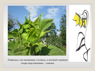 Появилась, так называемая «головка», в которой созревают плоды подсолнечника