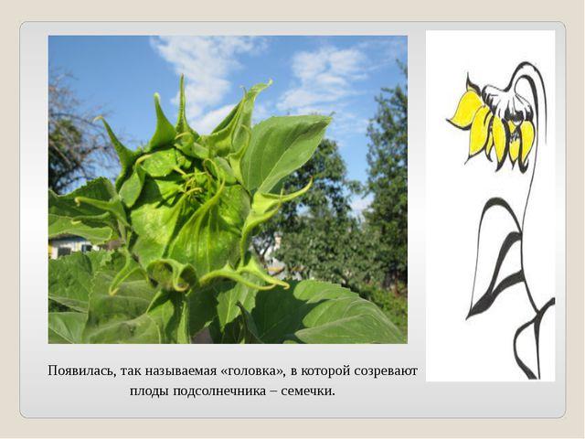 Появилась, так называемая «головка», в которой созревают плоды подсолнечника...