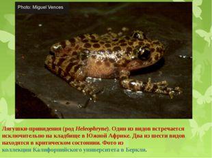 Лягушки-привидения (род Heleophryne). Один из видов встречается исключительно