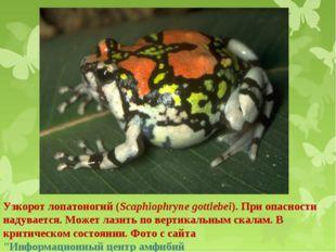 Узкорот лопатоногий (Scaphiophryne gottlebei). При опасности надувается. Може