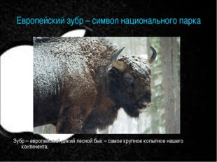 Европейский зубр – символ национального парка Зубр – европейский дикий лесной