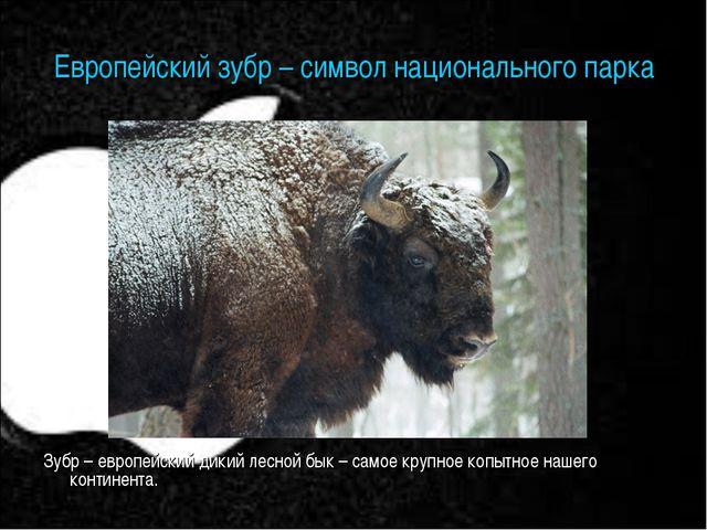 Европейский зубр – символ национального парка Зубр – европейский дикий лесной...