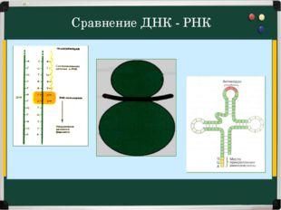 Сравнение ДНК - РНК А, Г, Ц, Т дезокси-рибоза Ф АЗОТИСТОЕ ОСНОВАНИЕ ФОСФОРНАЯ