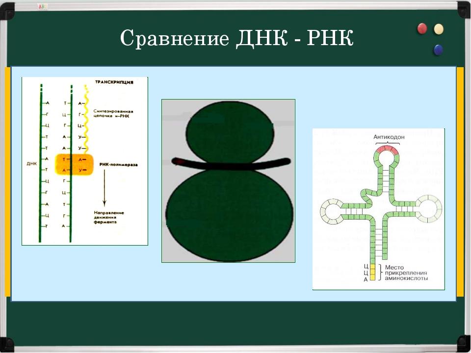 Сравнение ДНК - РНК А, Г, Ц, Т дезокси-рибоза Ф АЗОТИСТОЕ ОСНОВАНИЕ ФОСФОРНАЯ...