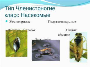 Тип Членистоногие класс Насекомые Жесткокрылые Полужесткокрылые Вертячка- поп