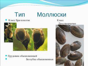 Тип Моллюски Класс Брюхоногие Класс Двустворчатые Прудовик обыкновенный Безз