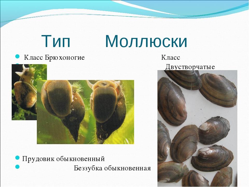 Тип Моллюски Класс Брюхоногие Класс Двустворчатые Прудовик обыкновенный Безз...