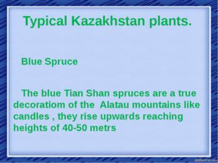 Typical Kazakhstan plants.  Blue Spruce The blue Tian Shan spruces are a true