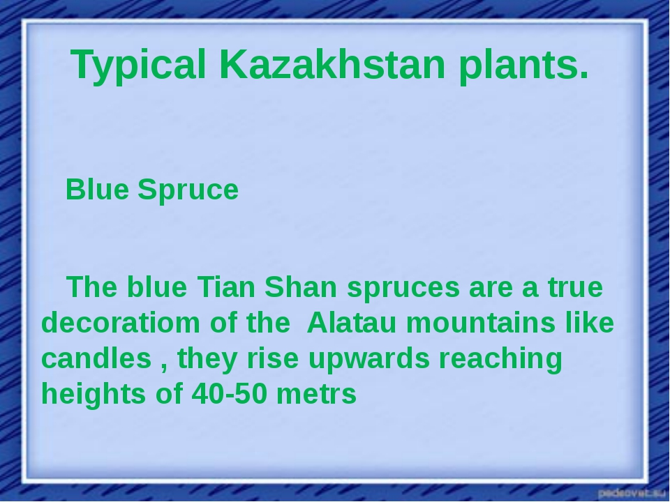 Typical Kazakhstan plants.  Blue Spruce The blue Tian Shan spruces are a true...
