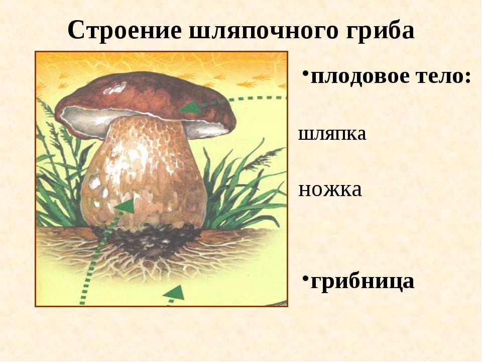 Строение шляпочного гриба шляпка грибница ножка плодовое тело: