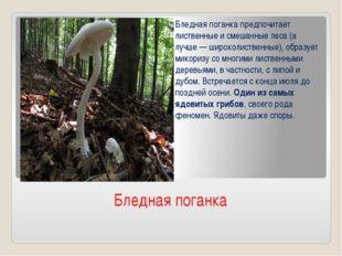Бледная поганка Бледная поганка предпочитает лиственные и смешанные леса (а л