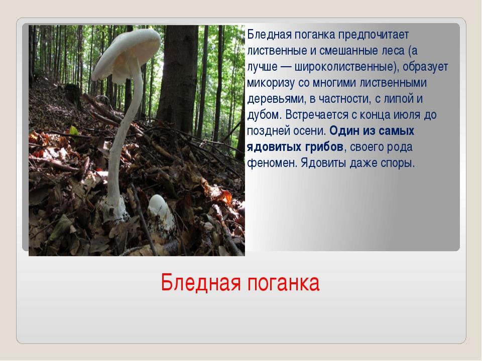 Бледная поганка Бледная поганка предпочитает лиственные и смешанные леса (а л...