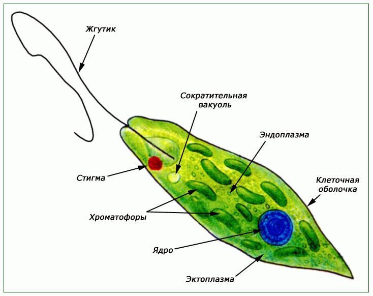 http://900igr.net/datai/biologija/Oporno-dvigatelnaja-sistema-zhivotnykh/0003-004-Evoljutsija-oporno-dvigatelnoj-sistemy.png