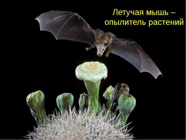Летучая мышь – опылитель растений