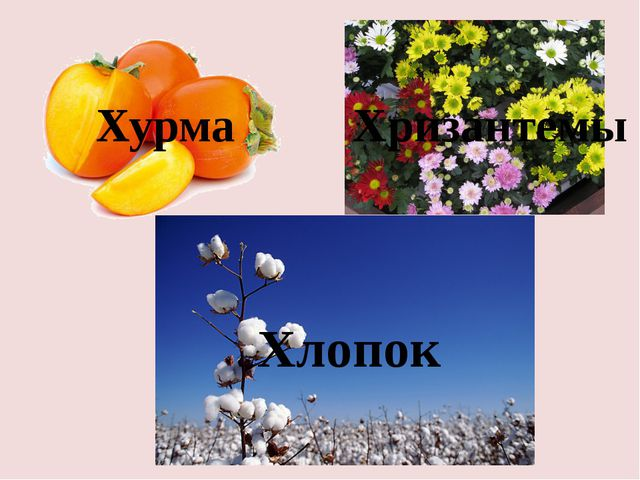 Хурма Хризантемы Хлопок