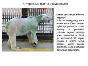 Интересные факты о водорослях Какого цвета кожа у белого медведя? У белого ме
