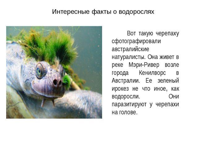 Интересные факты о водорослях Вот такую черепаху сфотографировали австралийск...