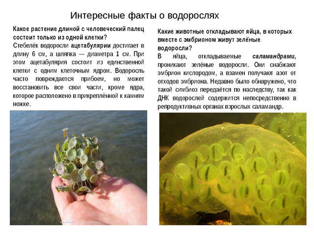 Интересные факты о водорослях Какое растение длиной с человеческий палец сост...