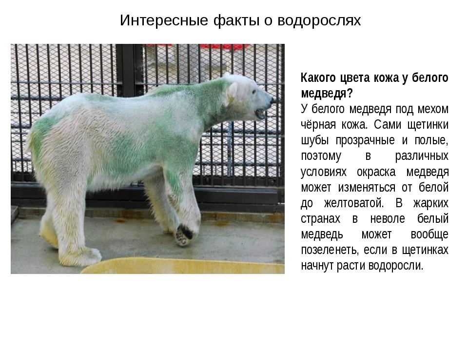 Интересные факты о водорослях Какого цвета кожа у белого медведя? У белого ме...