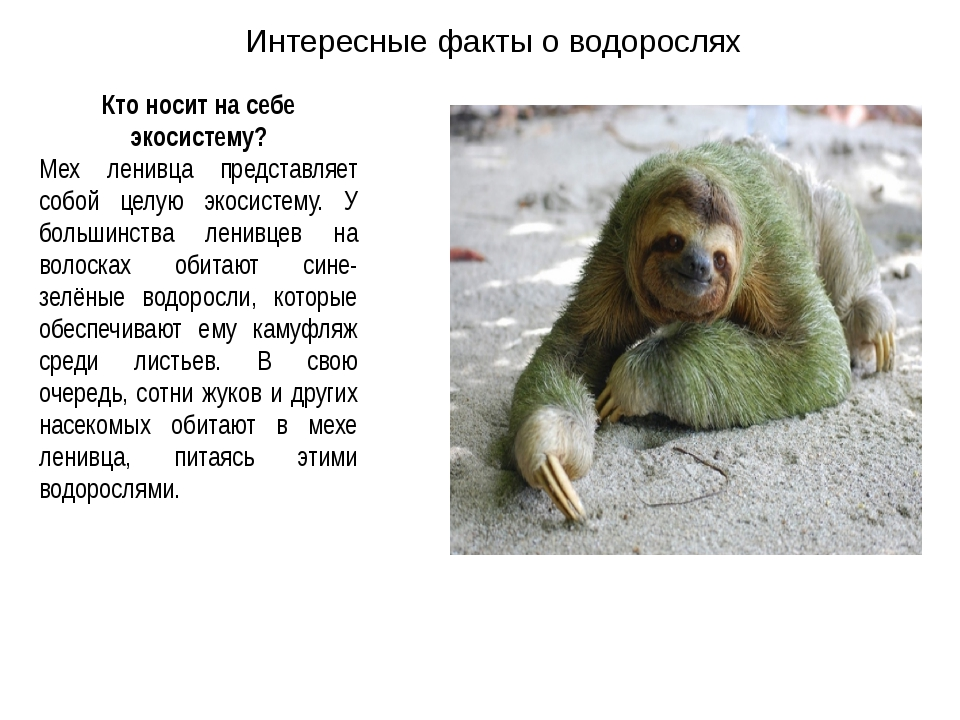 Кто носит на себе экосистему? Мех ленивца представляет собой целую экосистему...