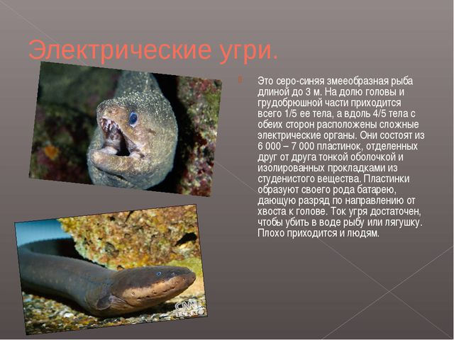 Электрические угри. Это серо-синяя змееобразная рыба длиной до 3м. На долю г...