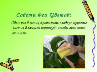 Советы Феи Цветов: Один раз в месяц протирать гладкие крупные листья влажной