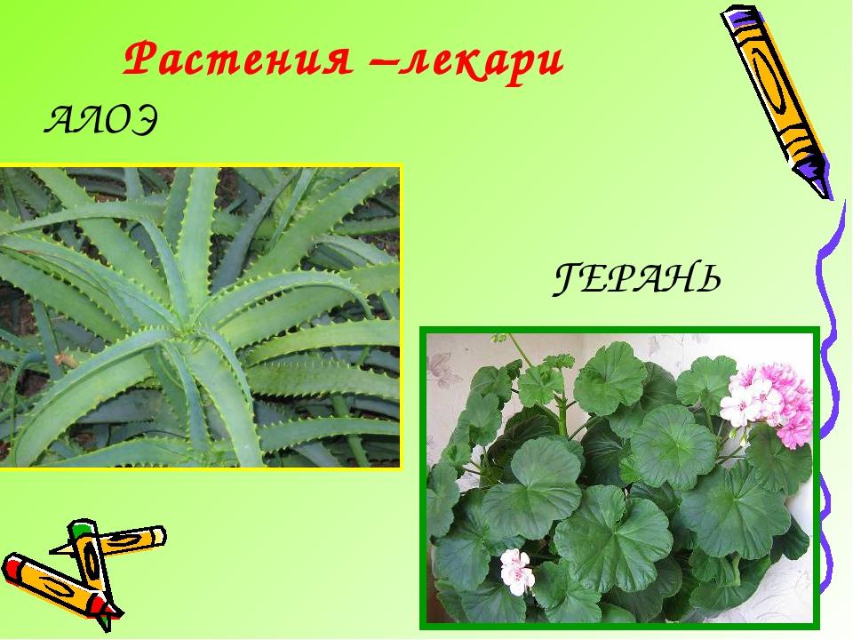 Растения –лекари АЛОЭ ГЕРАНЬ