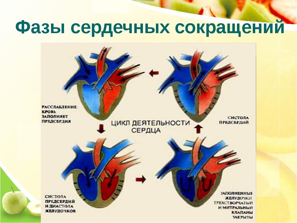 Фазы сердечных сокращений
